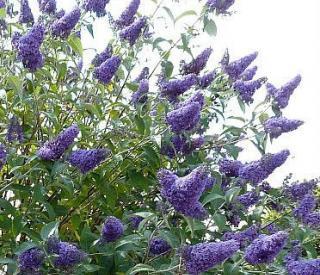 buddleia-davidii-empire-blue-butterfly-bush-shrub-jumbo-57
